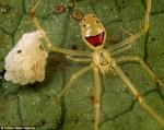 العنكبوت الضاحك